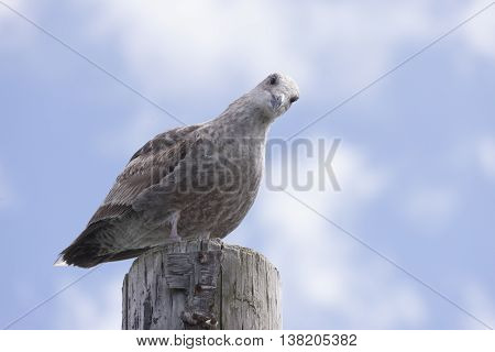 Immature Herring Gull on Post at the Westhaven Cove in Westport Washington.