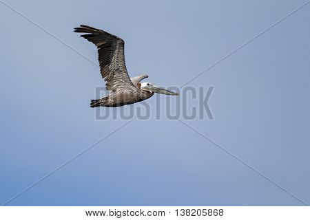 Eastern Brown Pelican flying in the sky above Westhaven Cove in Westport Washington.