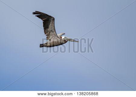 Eastern Brown Pelican flying in the sky above Westhaven Cove in Westport Washington.