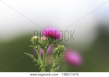 weed fluffy bright pink thorn with sharp needles