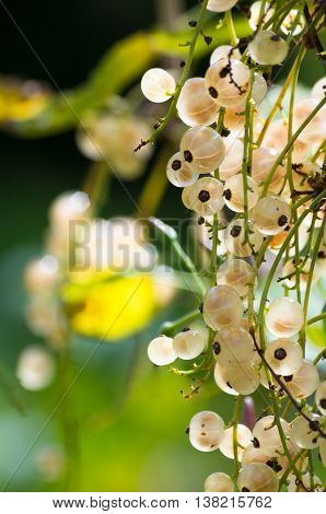 Bunch of white currants on a bush lit by sunlight
