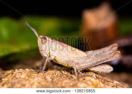 Field grasshopper (Chorthippus brunneus) brown form. Short-winged insect in family Acrididae with pink pronotal shield and hairy underside