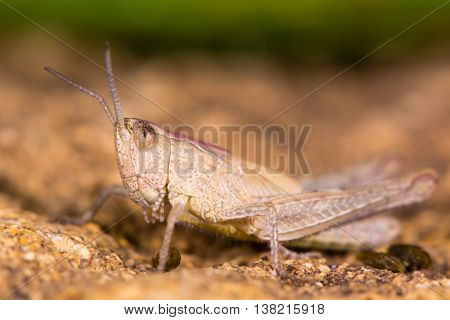 Field grasshopper (Chorthippus brunneus) brown form in profile. Short-winged insect in family Acrididae with pink pronotal shield and hairy underside