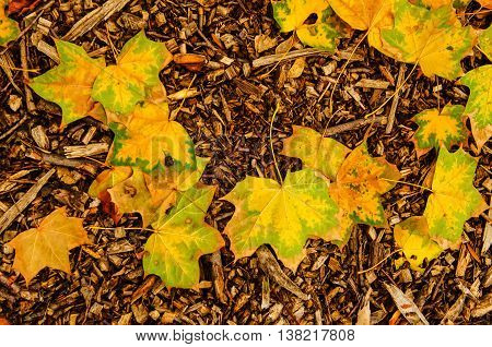 Autumn natural flat background with colorful yellow maple leaves on a wood sawdust