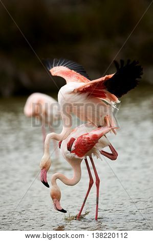Beautiful pink flamingos (Phoenicopterus roseus) mating in Camargue