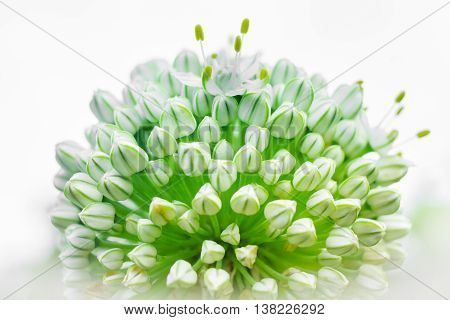 Creeping Onion Flowers with a white background.
