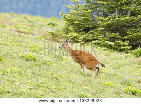 A black-tailed deer Odocoileus hemionus columbianus squats on top of Hurricane Ridge in Washington.
