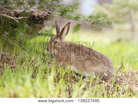 Cute snowshoe hare feeding on grass on Hurricane Ridge Washington.