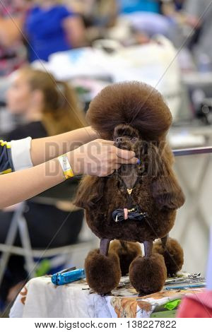 Groomer prepares the dog to the exhibition