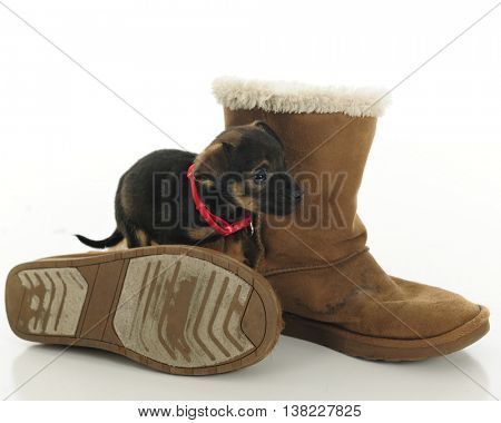 An adorable black and brown puppy standing among a pair of old brown boots.  On a white background