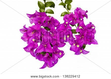 beautiful pink bougainvilleas isolated on white background.