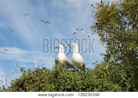 Two sea gulls on a native bush at Penguin Island with a flock of sea gulls flying overhead in a blue sky with clouds in Rockingham, Western Australia.