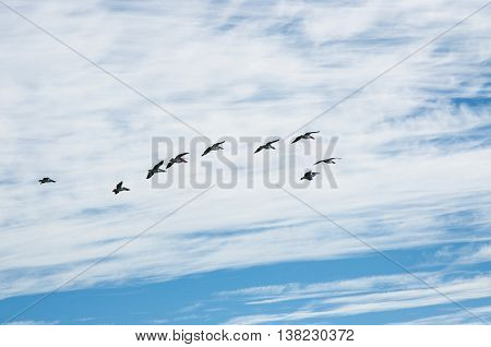 Flock of large pelicans in flight with a blue sky and cloud background in Western Australia.