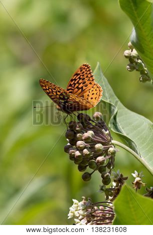 Great Spangled Fritillary butterfly, Speyeria Cybele, a member of the Nymphalidae family, on Milkweed flower, portrait