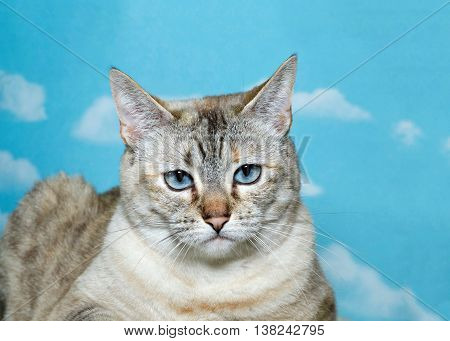 Lynx cat glaring at the camera blue background whit white cloud pattern. copy space
