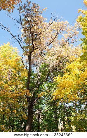 Autumn Maple Leaves Blue Yellow Orange Sky 11
