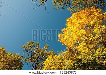 Autumn Maple Leaves Blue Yellow Orange Sky 15