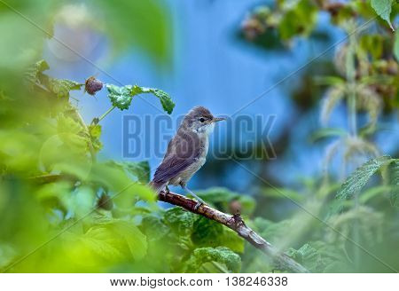 Spotted Flycatcher Muscicapa striata . Wild bird in a natural habitat. Russia Siberia