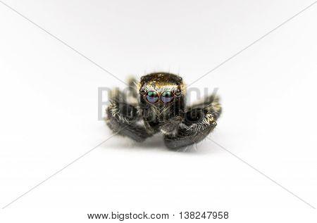 Death jumper spider with big eyes.Minimalism concept