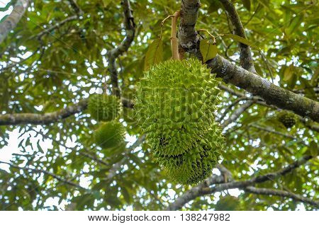 Big durian fruits hanging on tree.Known as the king of fruits in the Malaysia and Southeast Asia.Famous local fruits at Malaysia and its also attract many tourists to taste it.