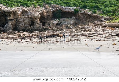 Limestone rock formations with sea lions, sea gulls and pied cormorants on the beach on vegetated remote island in the Indian Ocean in Rockingham, Western Australia.