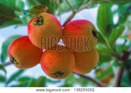 Ripe apples on apple tree branch blue sky background.