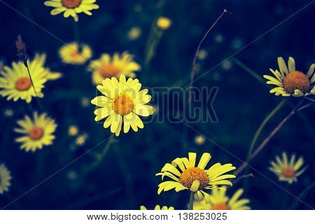 Vintage Photo Of Chamomile Flowers