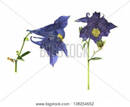dry large dark blue purple and white perspective delicate royal Aquilegia with pressed petals isolated on scrapbook background blossom of Columbine flower