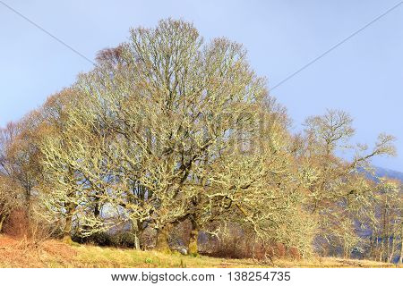 A large tree in scotland full of lichen .