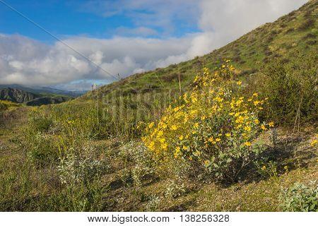Yellow Daisy On Hillside