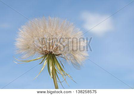 White fluffy dandelion clock against the blue sky