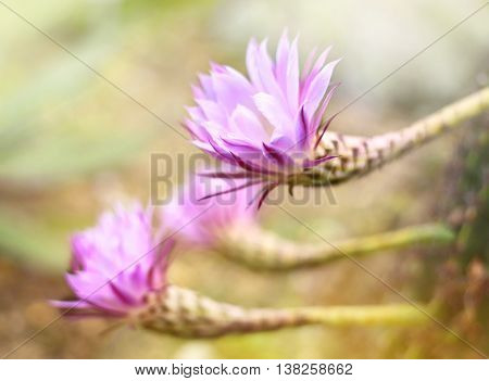 Pink cactus flowers with copy space and selective focus. Beautiful cactus flowers in the sunlight, focus on the foreground.