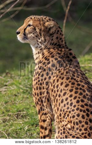 Cheetah close-up lying on grass South Africa.