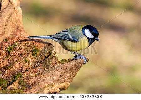 Great Tit (Parus major) perched on a branch