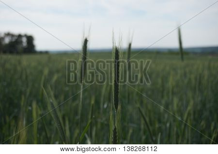 stalks of grains in the middle of a cornfield
