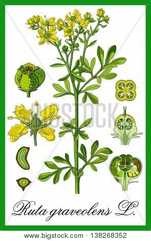 Common rue herbal botany illustration art vector.