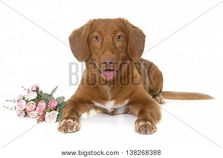 Nova Scotia Duck Tolling Retriever in front of white background