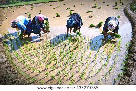 YEN BAI, VIETNAM, May 22, 2016 FG, high mountains, Yen Bai, Vietnam. Day season rice cultivation