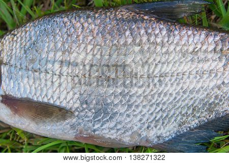 Close up view of the freshwater common bream fish or silver bream just taken from the water. Common bream fish or silver bream scales as natural background.
