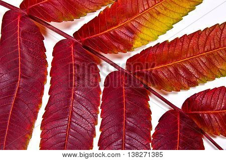 Close Up View Of Autumn Red Leaf On White Background