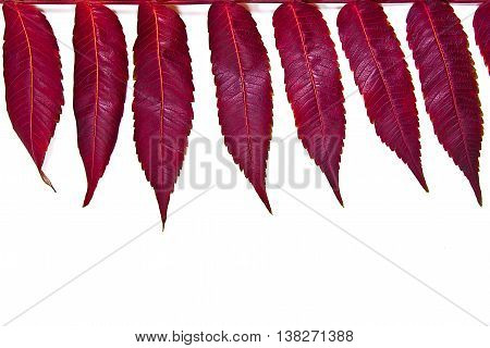 Close Up View Of Autumn Red Leaf On White Background. With Clipping Path.