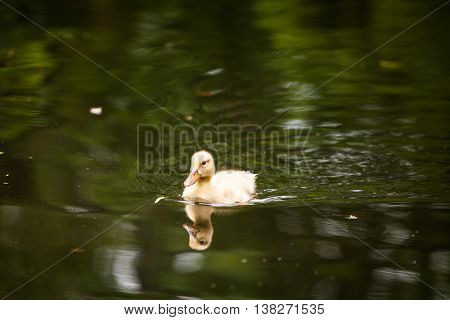 Cute little duckling swimming on a pond