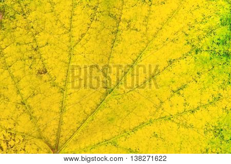 Autumn Grapes Leaf As Background.