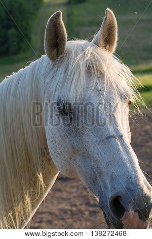 white Arabian Horse listens intently - portrait