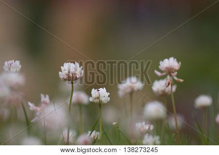 White or Dutch clover closeup in garden