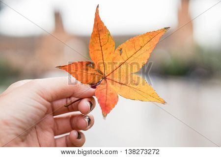 a decay maple leaf in human hand