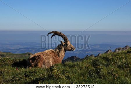 Male alpine ibex resting on a mountain ridge and enjoying the morning sun. Rare wild animal.