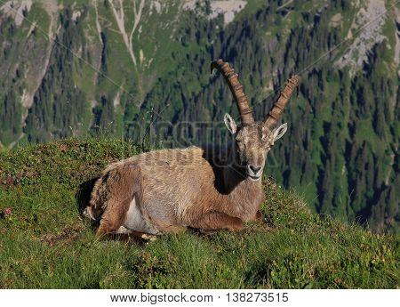 Wild animal living high up in the mountains. Resting male alpine ibex.