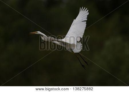 Great white egret (egretta alba) in flight