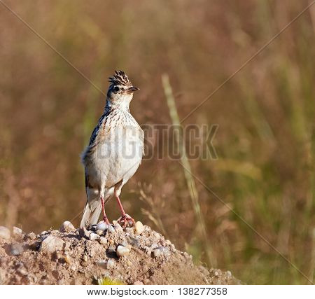 Woodlark Hiding In Grass